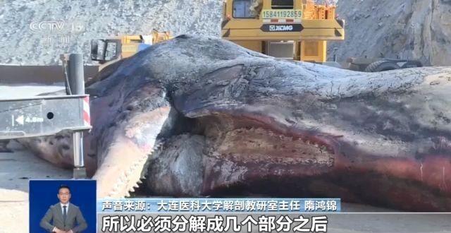 渤海首現抹香鯨尸體 全球第一頭抹香鯨塑化標本曾在大連制成