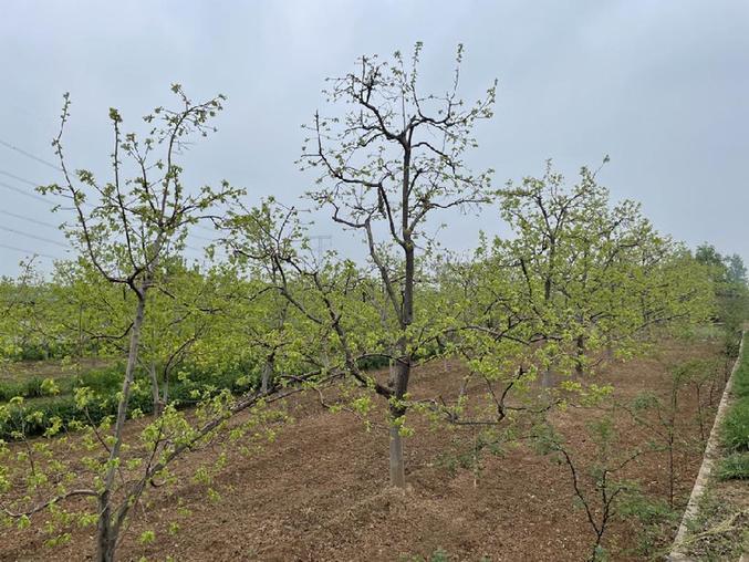 陕西富平三河村:柿子产业助力脱贫 推动乡村振兴