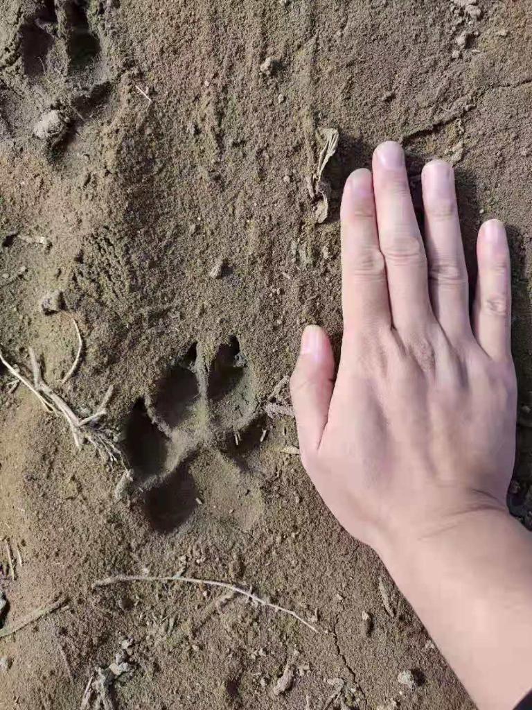 """黑龙江省齐齐哈尔市通报""""狼出没"""":符合狼的体征和捕食习性"""