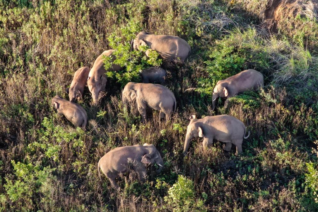 最新!云南北移亚洲象群小范围活动 独象返回晋宁区