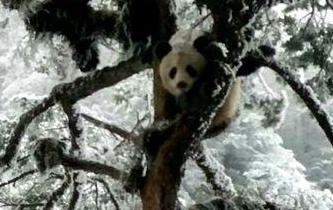 四川蘆山縣發現野生大熊貓