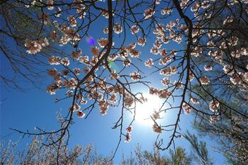 新疆哈密:山杏花開迎客來