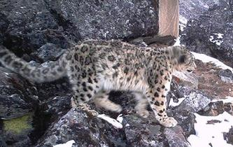 四川臥龍雪豹數量超9只