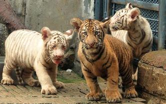 山東濟南:三胞胎虎寶寶與遊客見面