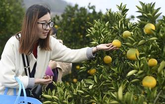 浙江:常山胡柚進入採摘季