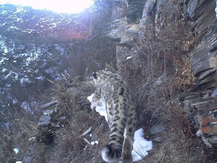 西藏昌都怒江河谷拍攝到健康雪豹種群