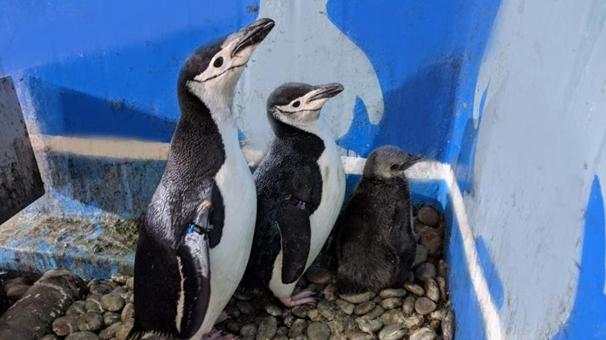 東北首例人工繁育帽帶企鵝在大連降生