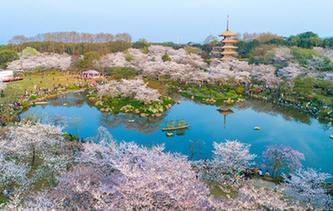 武漢:櫻花繽紛醉遊人