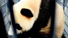 """熊貓姐妹花""""落戶""""吉林長春"""