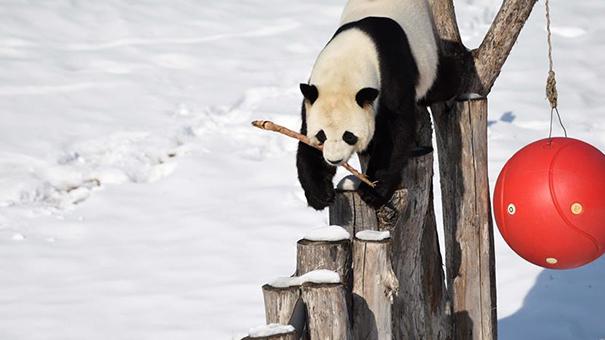 大熊貓迎來了又一個雪季