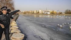 """新疆庫爾勒:越冬天鵝""""鬧""""新春"""