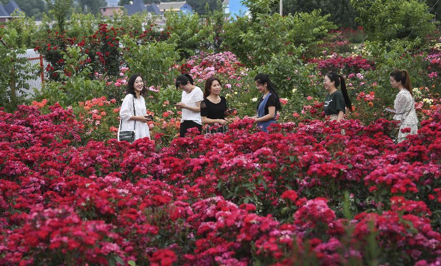 陜西洛南:鋪滿鮮花的玫瑰小鎮