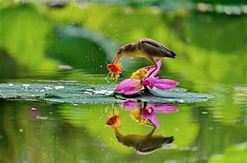河北唐山:水鳥戲荷