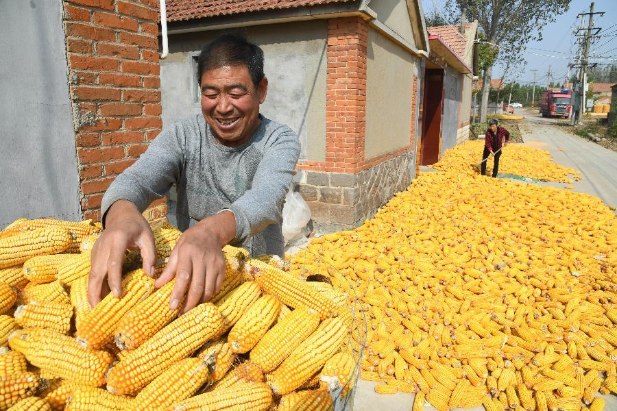 山東青島:金秋玉米喜豐收