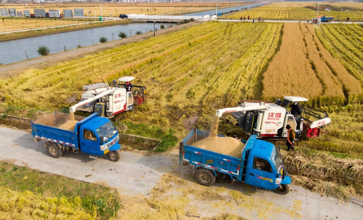 江蘇南京:收割晚稻