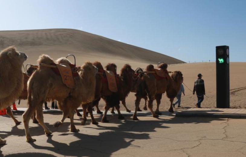 駱駝紅綠燈亮相敦煌鳴沙山月牙泉景區