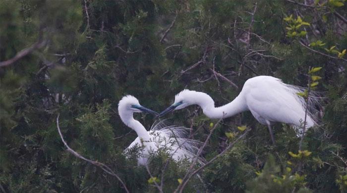 江蘇泗洪:鷺鳥叼枝築巢 成洪澤湖靚麗風景
