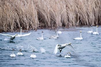 黃河濕地天鵝湖
