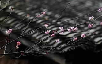 西溪濕地:早春時節 曲水尋梅