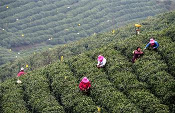 河南信陽:春日茶香