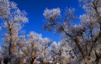 新疆南部持續低溫 胡楊林現霧凇美景
