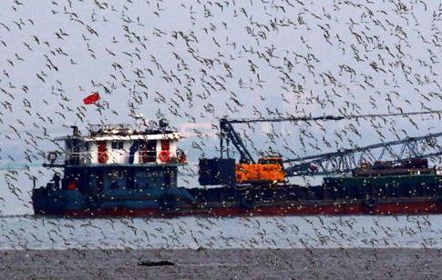 候鳥翔集膠州灣