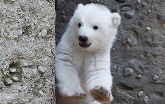 首次露面的小北極熊