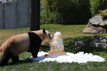 旅日大熊貓三兄妹將返鄉