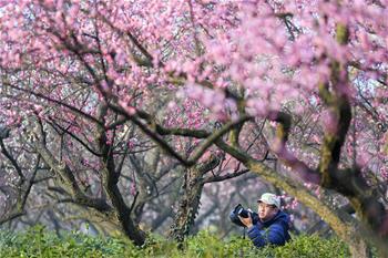 江蘇南京:梅花綻放引客來