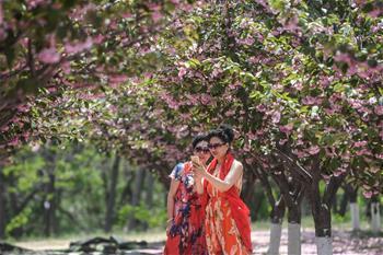 櫻花盛引遊人