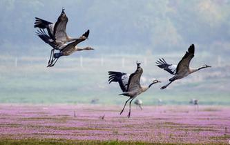 大批珍禽候鳥飛抵鄱陽湖越冬