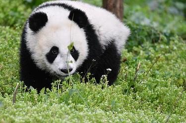 秦嶺大熊貓寶寶健康成長