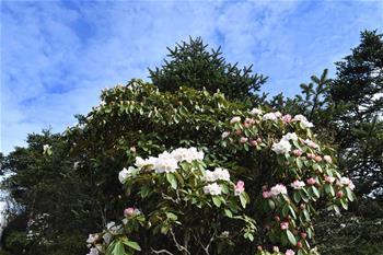 杜鵑花開峨眉山