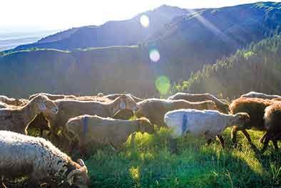 夏牧場暖羊羊