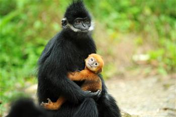 麻陽河保護區:黑葉猴喜添丁