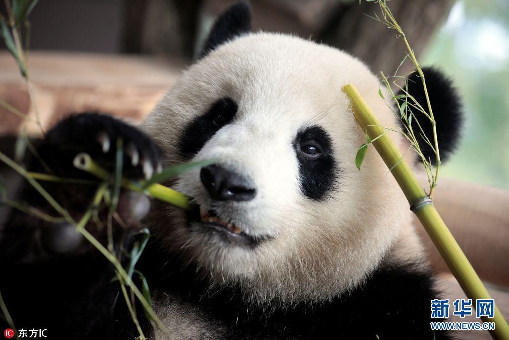 """柏林动物园熊猫馆正式开馆 """"滚滚""""在新家开心啃竹子"""