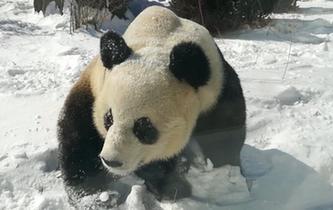 大熊貓雪地撒歡享受雪天樂趣
