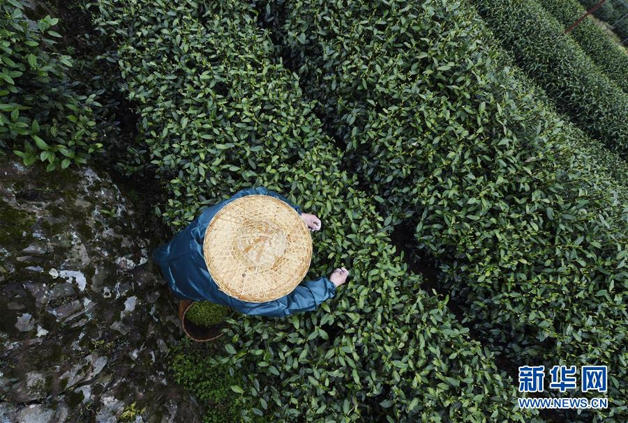 杭州西湖龙井春茶开采_图片频道_新华网
