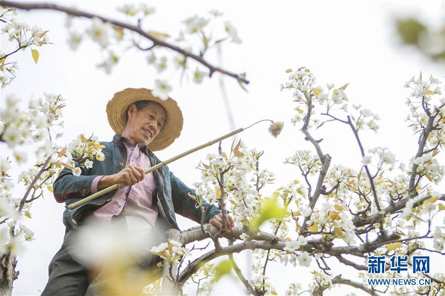 (環境)(1)四川:春風一夜來 萬樹梨花開