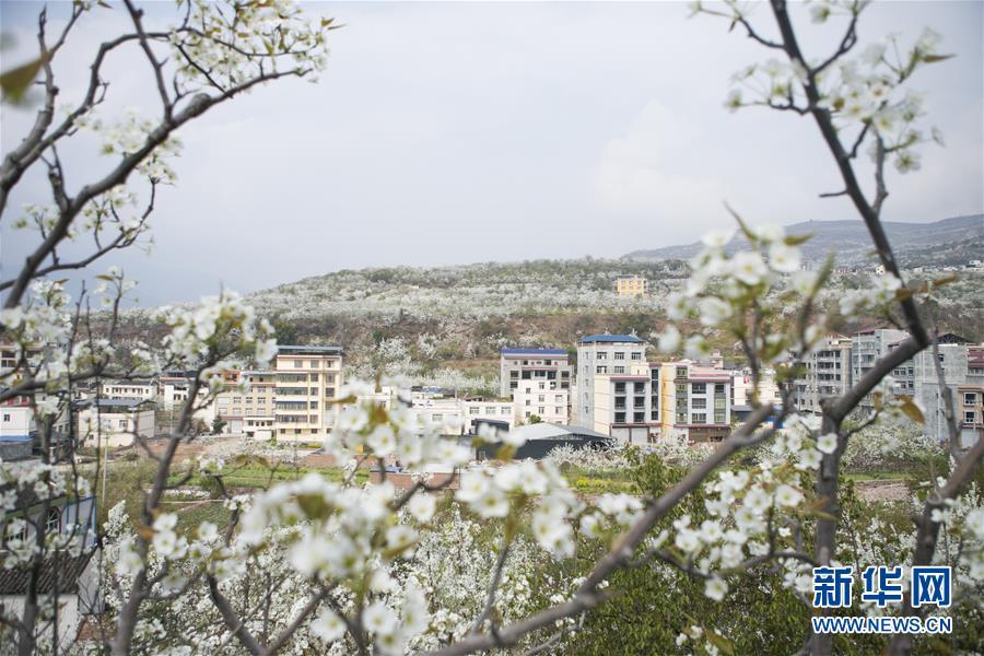 四川:春风一夜来 万树梨花开