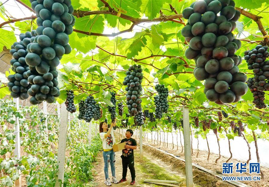 河北卢龙:小葡萄大产业