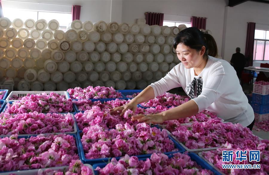"""#(经济)(1)江苏海安:玫瑰花铺就农民致富""""芬芳之路"""""""