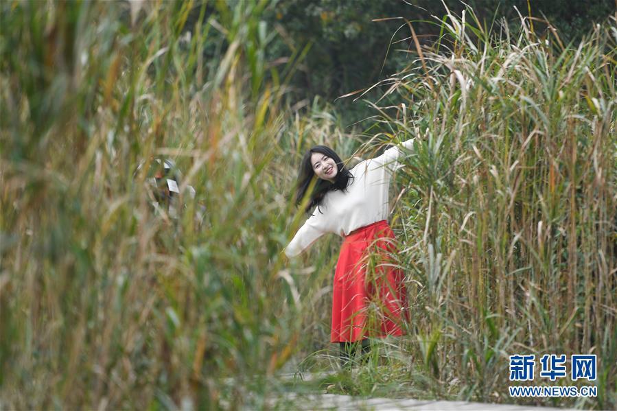 (環境)(3)西溪濕地蘆花白