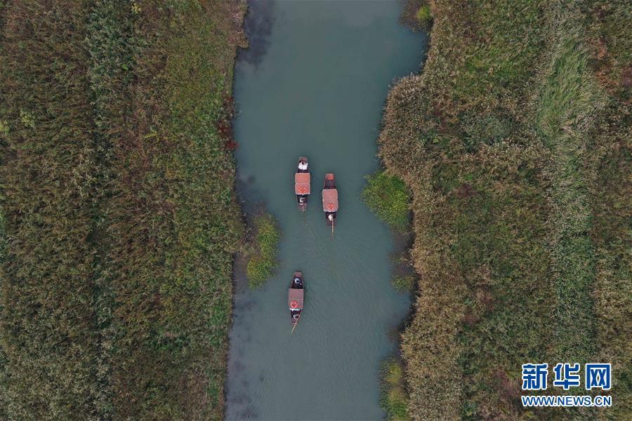 (環境)(5)西溪濕地蘆花白