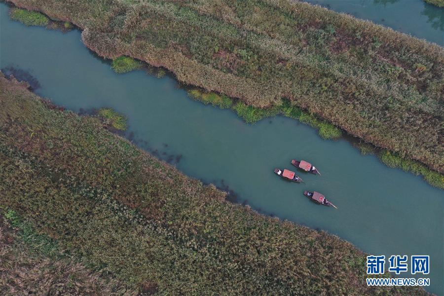 (環境)(6)西溪濕地蘆花白