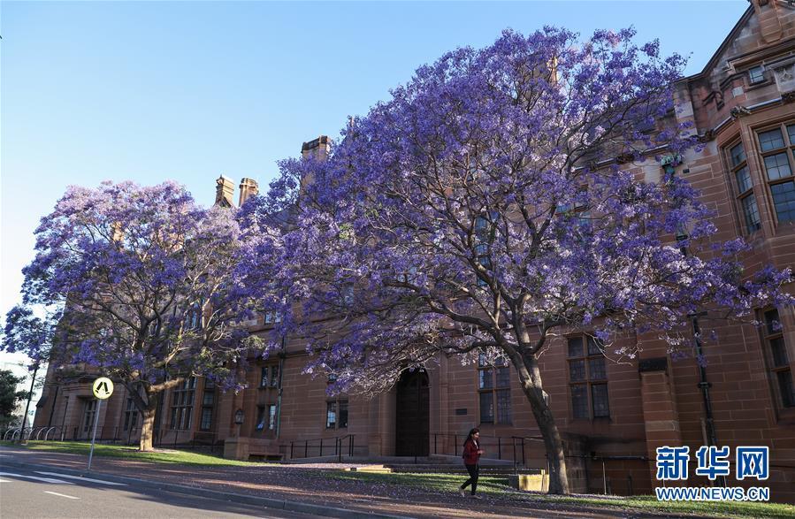 (國際)(2)在悉尼邂逅紫色浪漫