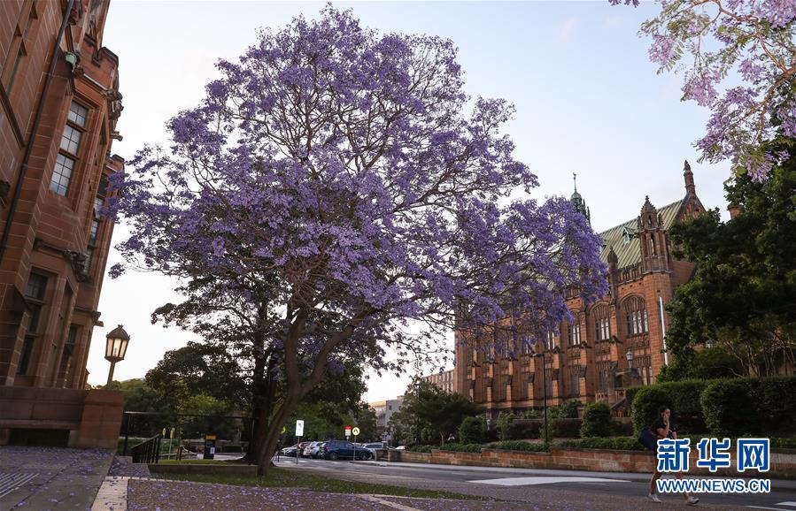 (國際)(3)在悉尼邂逅紫色浪漫