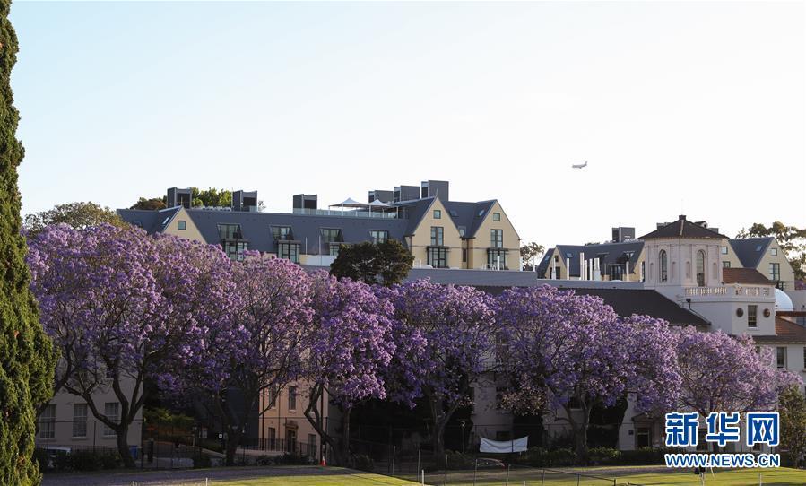 (國際)(4)在悉尼邂逅紫色浪漫