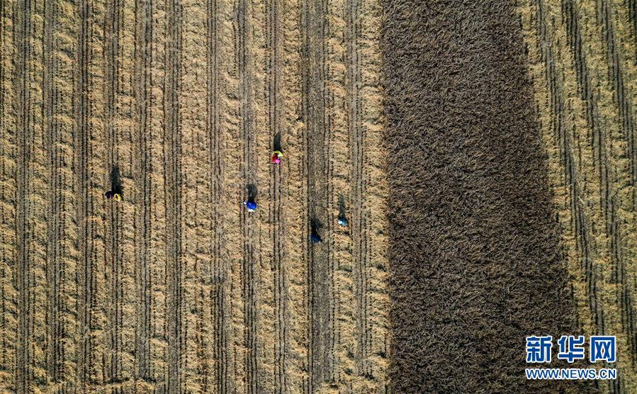 (经济)(1)陕西延安:南泥湾水稻迎丰收