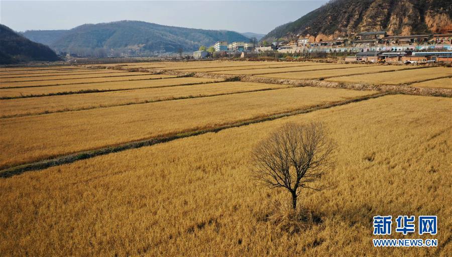(经济)(2)陕西延安:南泥湾水稻迎丰收